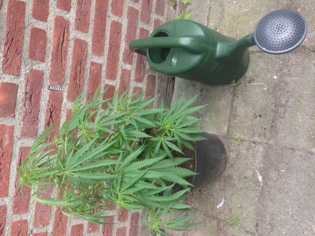 danish gold guerilla gold panama x??? man of auto cbg