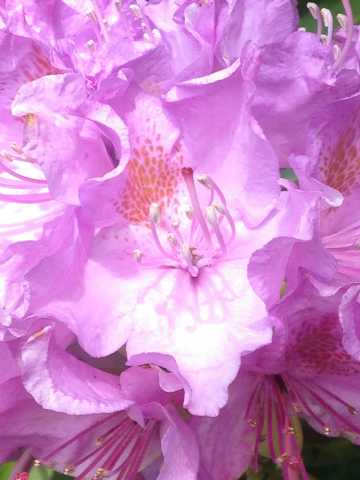 Rhododendron_roze