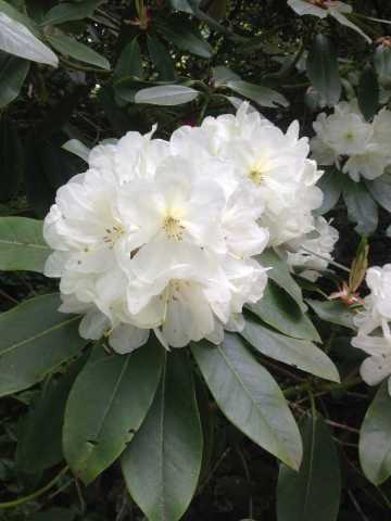 Rhododendron_wit